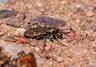 Common Claybank Tiger Beetle