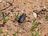 Boreal Long-lipped Tiger Beetle