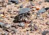 Obliqued-lined Tiger Beetle