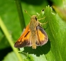 Indian Skipper