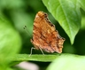 Eastern Comma