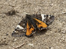Infant Moth