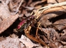 Common Claybank Tiger Beetle