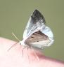 Bluish Spring Moth (Lomographa semiclarata)