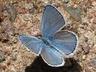 'Karner' Melissa Blue male