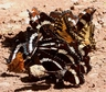 Butterflies on wolf scat