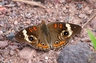 Common Buckeye