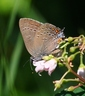 Edwards' Hairstreak