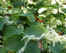 butterflies on Japanese Knotweed