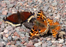 Tortoiseshells and Comma