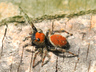Phidippus whitmani (jumping spider)?