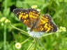 Harris' Checkerspot