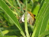 Poweshiek Skipperling (mated pair)