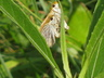 Poweshiek Skipperlings