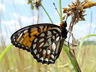Regal Fritillary