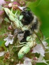 Bumble bee prey of ambush bug