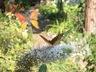 Great Spangled Fritillary