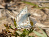 Common Checkered-Skipper