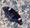 Red-spotted Admiral