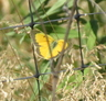 Orange Sulphur