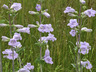 largeflowered beardtongue