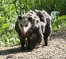 Opossum family!
