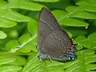 Banded Hairstreak
