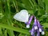 'Summer' Spring Azure