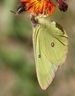 Pink-edged Sulphur