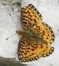 Silver-bordered Fritillary