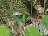Common Pondhawk