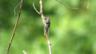 Cicada sp.