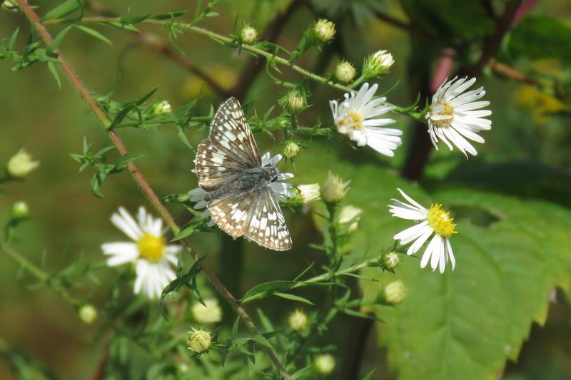 Recent sightings | South Jersey Butterfly Sightings