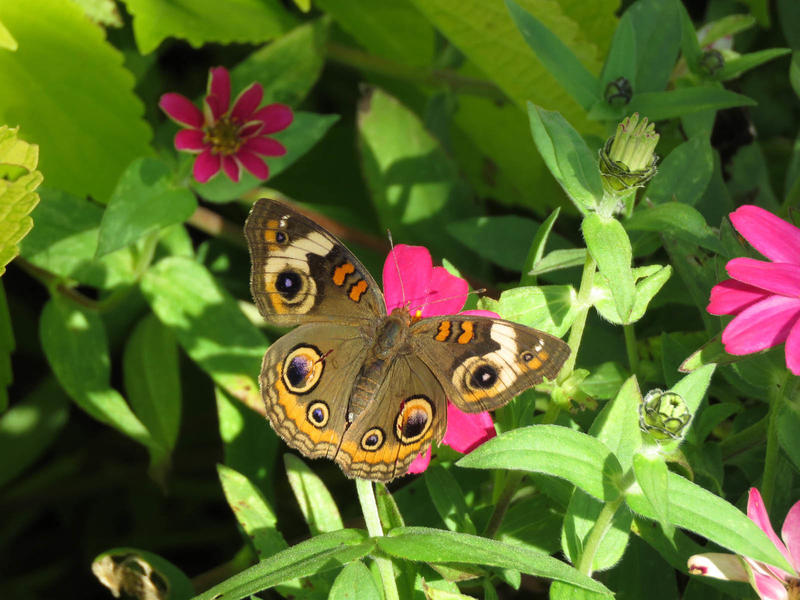 Recent sightings | North Jersey Butterfly Sightings